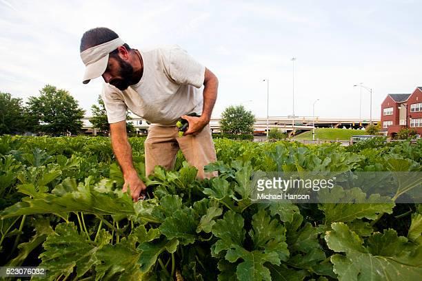 Man picking zucchinis on farm, Birmingham, Alabama, USA