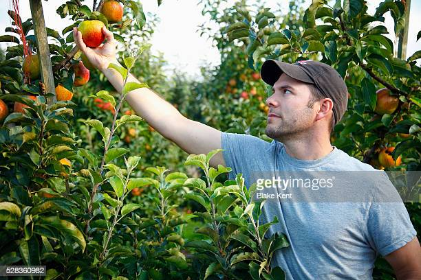 a man picks an apple from a tree; nooksack, washington, united states of america - kent washington state stock pictures, royalty-free photos & images