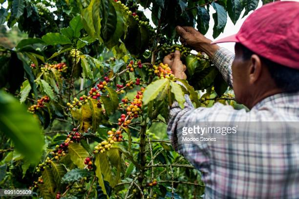 a man picks cherries at a farm in the rural highlands of colombias coffee axis. - colombia fotografías e imágenes de stock