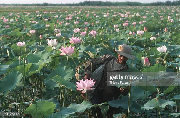 A man picks lotus flowers from a field near Tonle Sap Lake Tonle Sap Lake or the Great Lake is one of Cambodia's most important geographic features...
