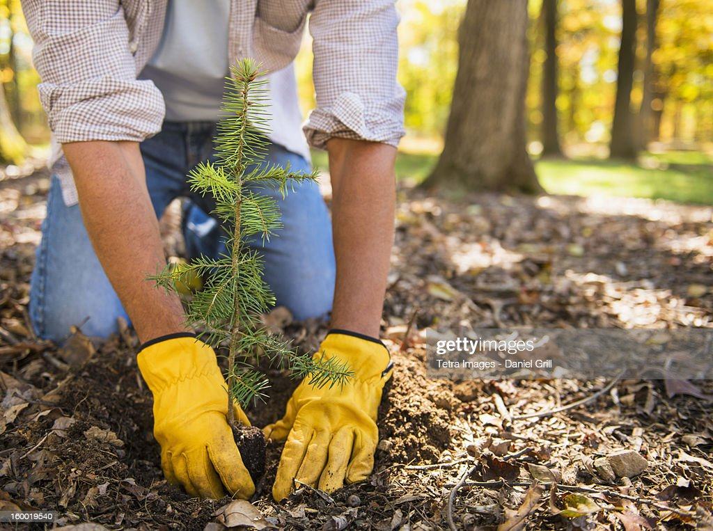 Man planting evergreen tree : Stock Photo