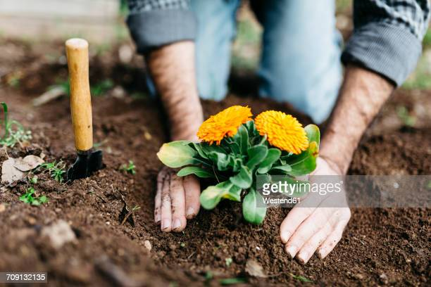 man planting flowers in his garden - tuinieren stockfoto's en -beelden
