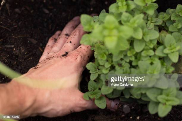 Man planting in a home vegetable garden