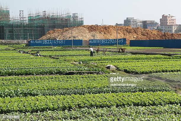 hombre plantando verduras, china - provincia de guangdong fotografías e imágenes de stock