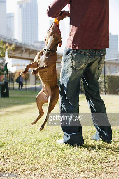 Man playing ball with pitbull terrier in park