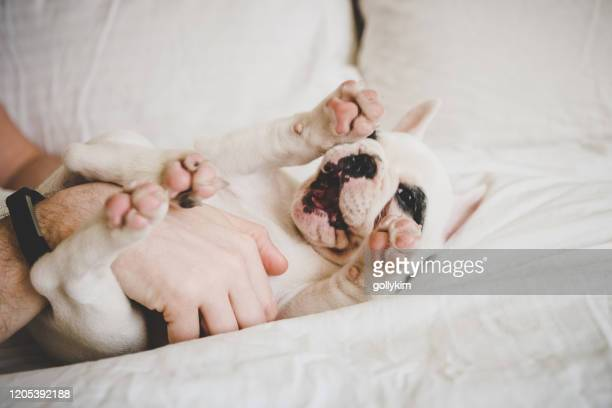 man playing with puppy, a french bulldog puppy - lying on back stock pictures, royalty-free photos & images