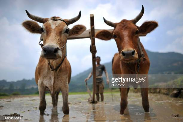 A Man plowing paddy field using ox for the rice plantation during the celebration of National Paddy Day quotASHAD 15quot at Chhampi Lalitpur Nepal on...