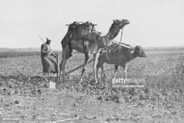 A man plows a field using a camel and an ox which he has yoked together despite their dissimilar sizes Egypt 1922