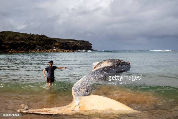 A woman touches a whale carcass on Wattamolla Beach in the Royal National Park south of Sydney on September 24 2018 in Sydney Australia The carcass...