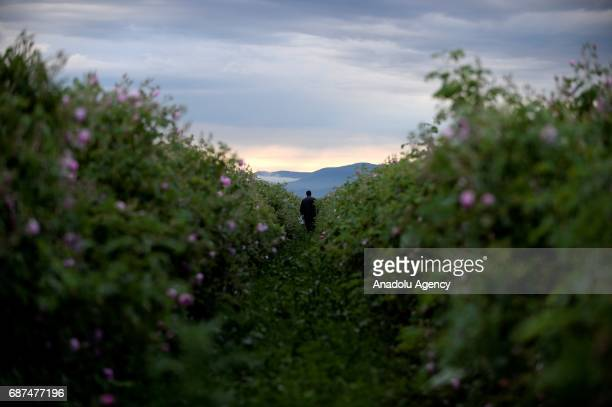 A man poses as he collects rose petals near the village of Rosino some 140km from Sofia Bulgaria 23 May 2017 Bulgaria is one of the main producers of...