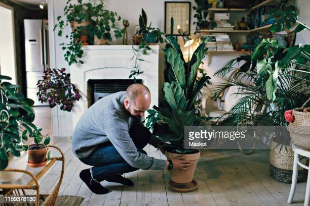 man positioning potted plant on hardwood floor in room at home - position stock pictures, royalty-free photos & images