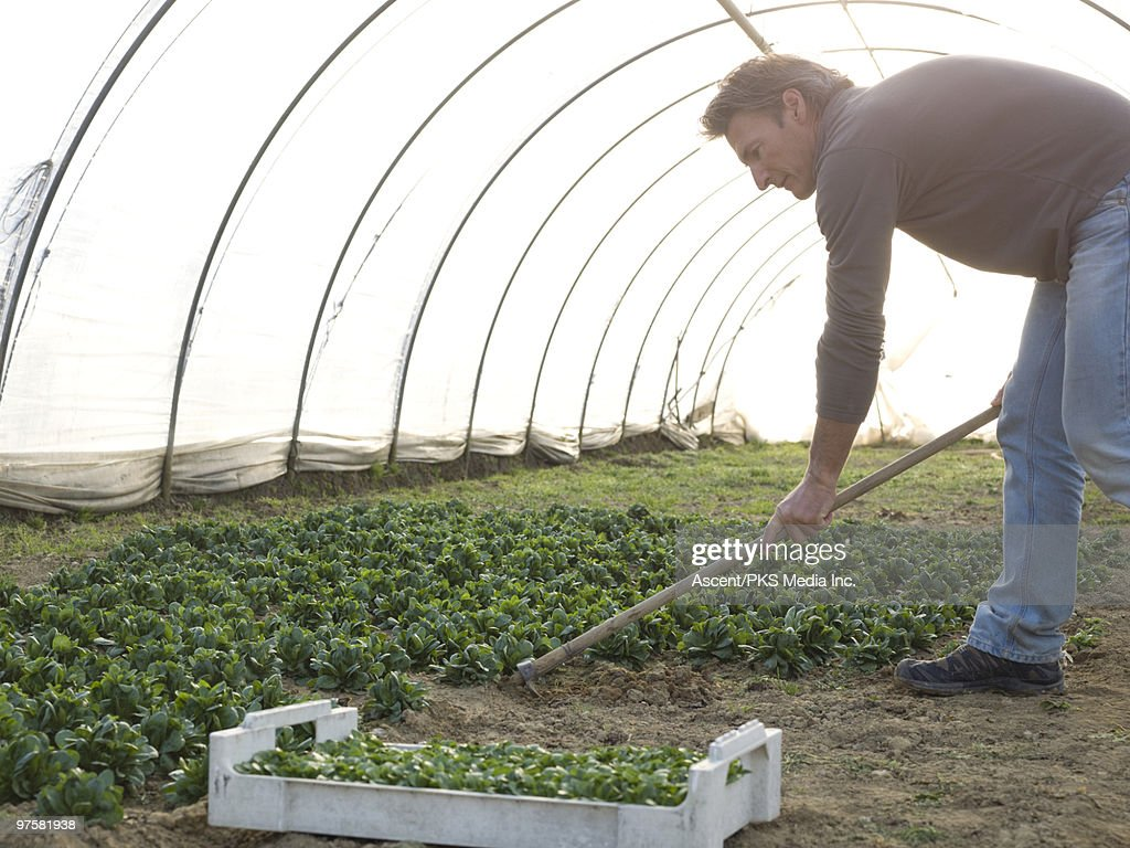 Man prepares garden/flower bed inside greenhouse : Stock Photo