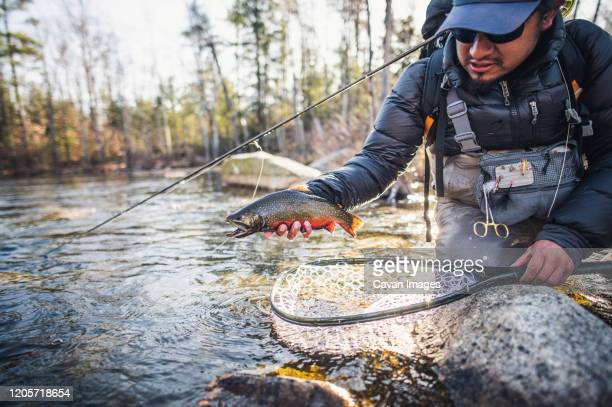 a man prepares to release a brook trout in maine - brown trout stock pictures, royalty-free photos & images