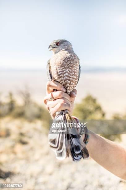 homme se préparant à libérer un faucon - laisser partir photos et images de collection