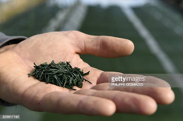 A man presents the bluegreen algae 'spirulina' on April 7 2016 in Condillac southeastern France Spirulina is presented as 'the richest food in nature...