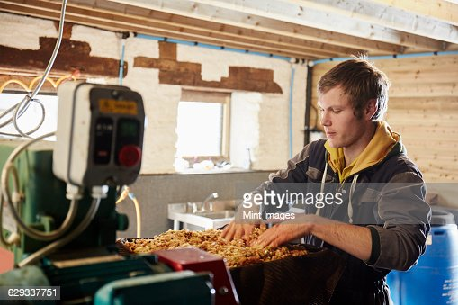 A man processing cider apples, loading the trays of the press with chopped fruit. Machinery, commercial cider press.