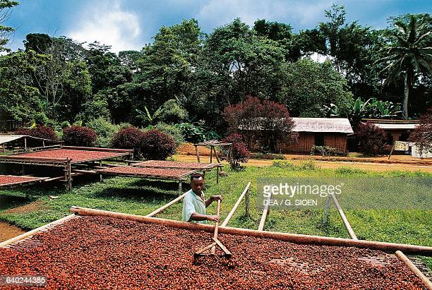 A man processing cocoa laid out to dry near Ebolowa Cameroon
