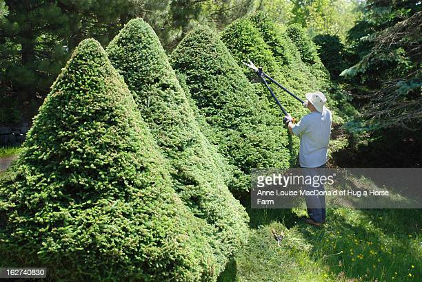man pruning large topiary spruce trees - トピアリー ストックフォトと画像