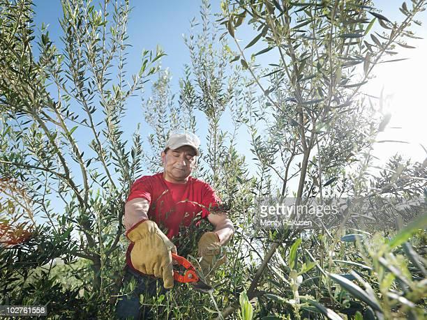 man pruning olive trees - monty rakusen stock pictures, royalty-free photos & images