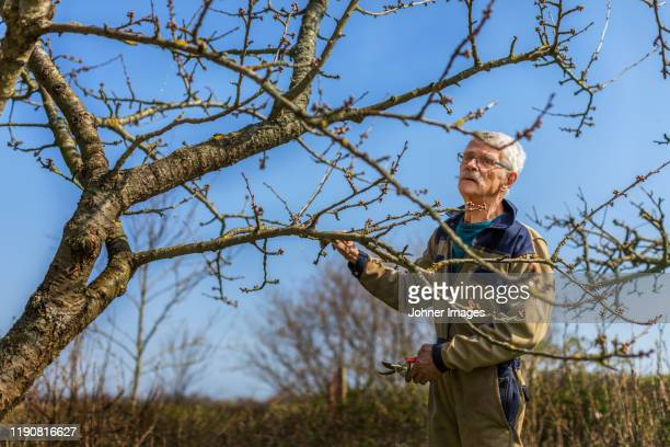 man pruning tree - appelboom stockfoto's en -beelden