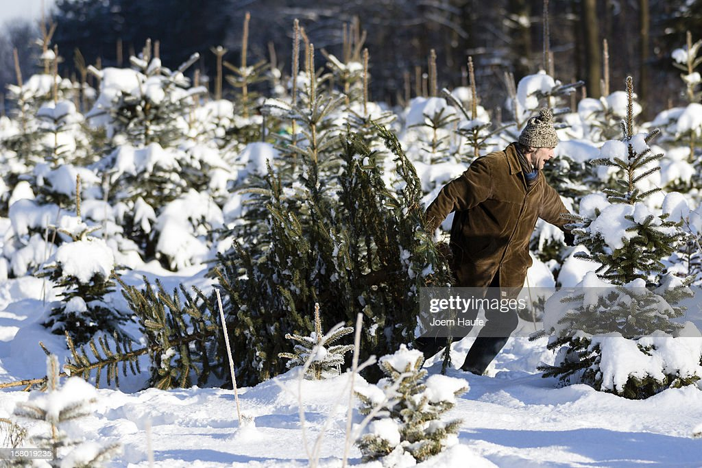 A man pulls a Christmas tree he chose and cut down himself in a forest on December 8, 2012 in Fischbach, Germany. Forestry officials in the state of Saxony officially opened the 2012 Christmas tree season for people who want to retrieve their tree from designated forests rather than just buying it readily cut.