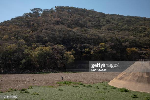 A man pulls a goat from the river bed that appears solid but is made up of rotton Water Hyacinth at Lake Chivero on August 5 2018 in Harare Zimbabwe...