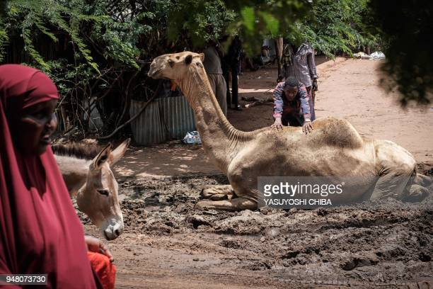 Man pushes a camel sitting in the mud near the camel market at Dadaab refugee complex, the northeast of Kenya, on April 18, 2018. - Dadaab is one of...