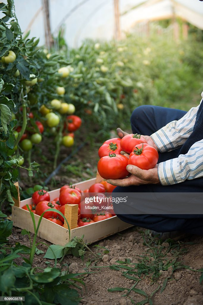 Man putting tomatoes from garden in a wooden crate : Stock Photo