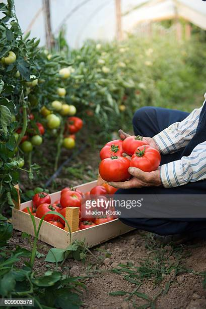 Man putting tomatoes from garden in a wooden crate