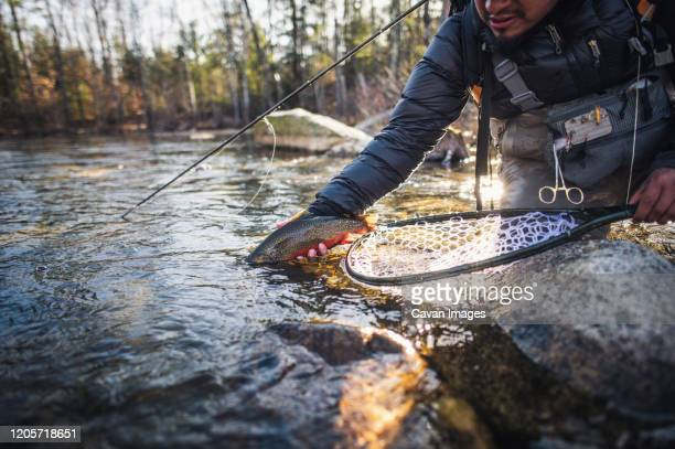 a man releases a large brook trout on a river in maine - brown trout stock pictures, royalty-free photos & images
