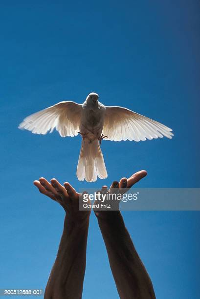 man releasing dove, close-up of hands - releasing stock pictures, royalty-free photos & images