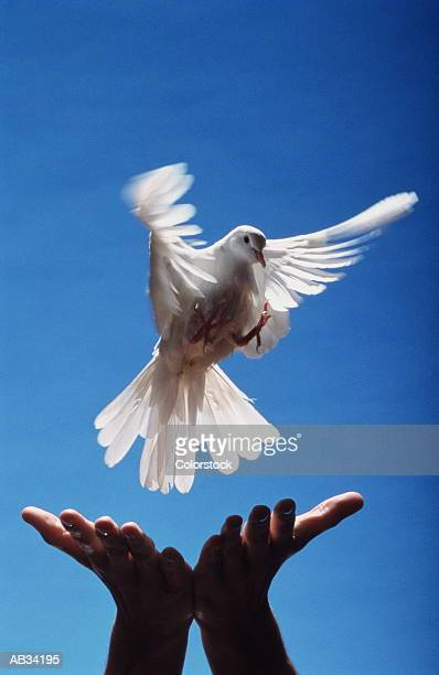 man releasing white dove, close-up, low angle view (blurred motion) - releasing stock pictures, royalty-free photos & images