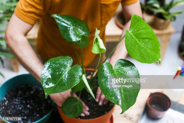 man repotting green plant (monstera deliciosa) - potting stock pictures, royalty-free photos & images