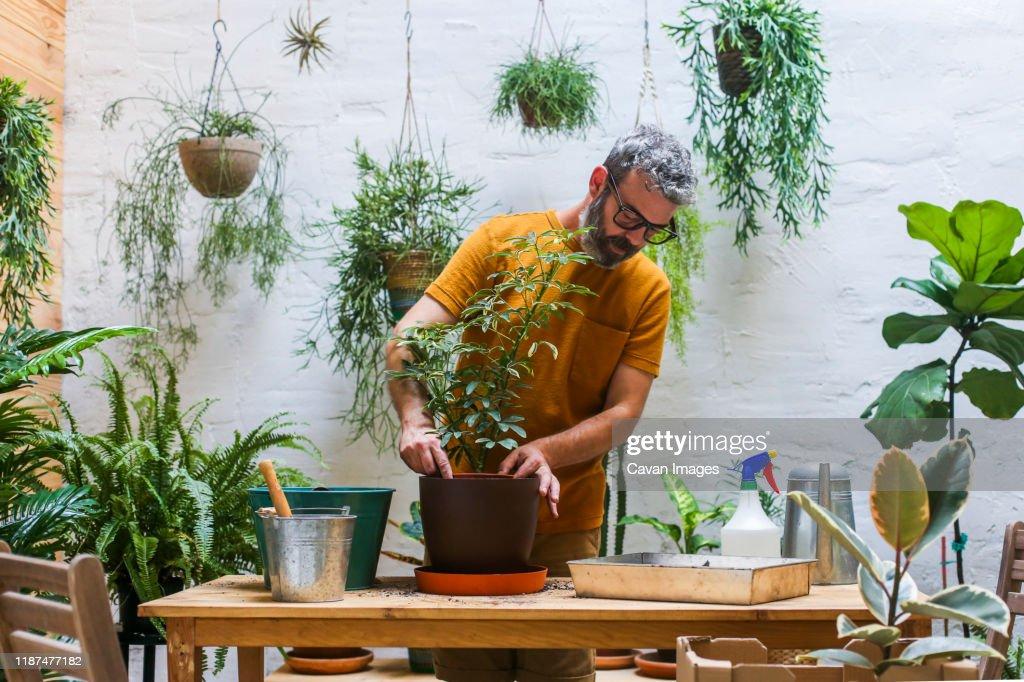 Man repotting green plant (Schefflera Umbrella Dwarf Plant) : Stock Photo