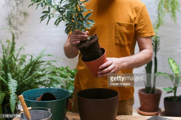 man repotting green plant (schefflera umbrella dwarf plant) - queensland umbrella tree stock pictures, royalty-free photos & images