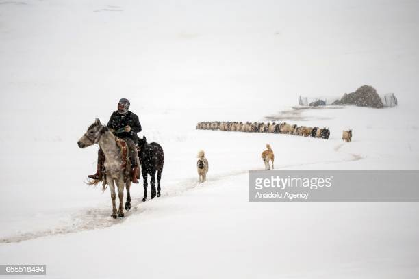 A man rides a donkey as he leads the way to a sheep flock as the snow falls in Gurpinar District of Van Turkey on March 20 2017