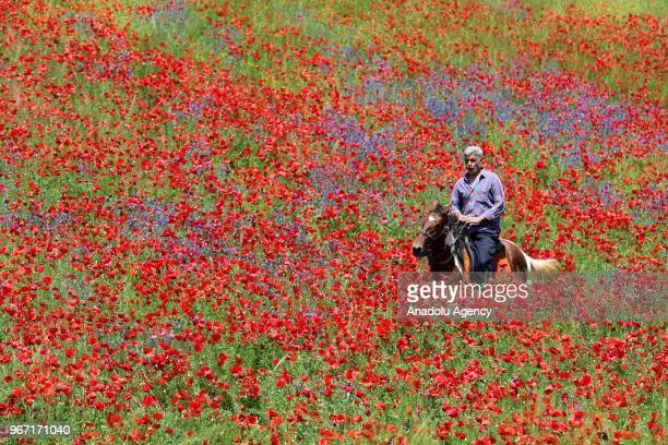 A man rides a horse among the red poppies and purplish and yellowish flowers at a field near Ercis road in Van Turkey on June 04 2018