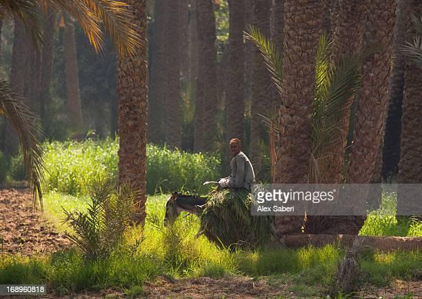 a man rides his mule near to dahshur in egypt. - alex saberi photos et images de collection