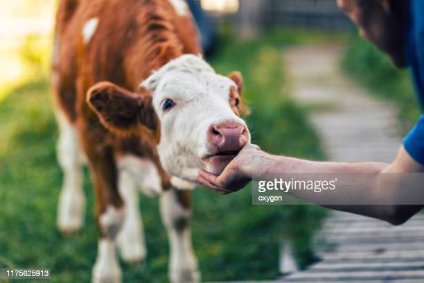 a man scratching neck a orange cow by hand - organic farm stock pictures, royalty-free photos & images