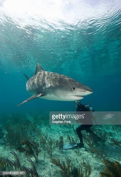 man scuba diving by tiger shark (galeocerdo cuvier), underwater view - tiger shark stock pictures, royalty-free photos & images