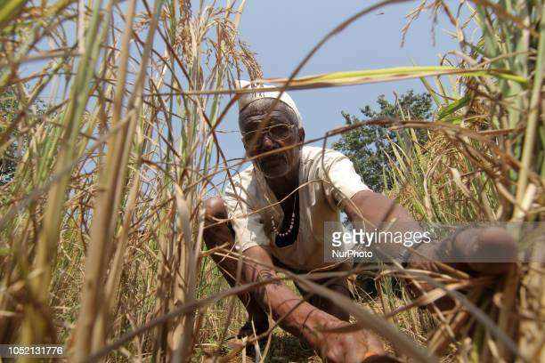 A man seen harvested rice from a field using traditional method at a village in Kolhapur Maharashtra On October 14 2018 According to the third...