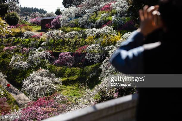 A man seen taking a photo of the weeping peach trees Approximately 3000 weeping peaches flourish in the Asahi District's Kaminakacho Toyota Aichi...