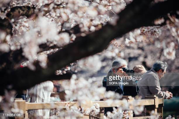 A man seen talking photos of cherry blossoms at yamazaki river nagoya Aichi prefecture Japan The Cherry blossom also known as Sakura in Japan...