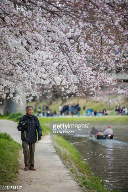 A man seen walking next to a cherry blossom trees during the festival Spring arrives and 800 Sakura cherry trees spread in the area around Okazaki...