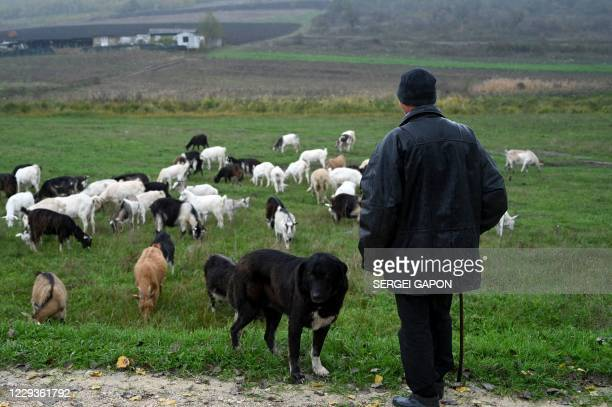 Man shepherds a herd of goats in the village of Oricova, some 60 km northwest of Chisinau, on October 30, 2020.