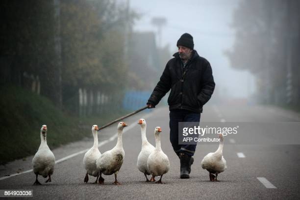 A man shepherds geese in the village of Krevo some 100 km northwest from Minsk on October 22 2017 / AFP PHOTO / Sergei GAPON