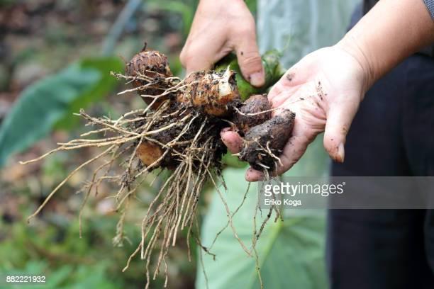 man showing harvested taros in vegetable garden - blumenzwiebel stock-fotos und bilder