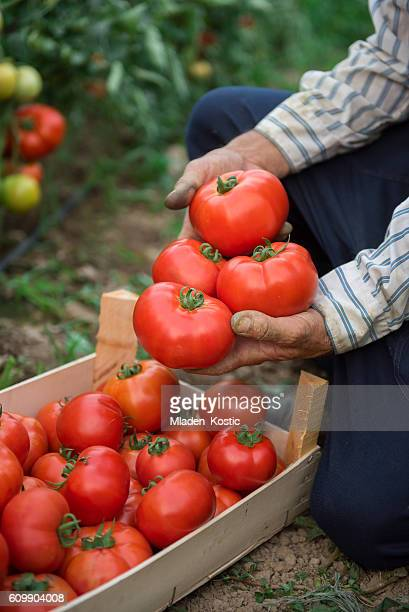 man showing organic products from his vegetable garden - agricultural occupation stock pictures, royalty-free photos & images