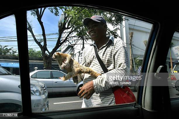 A man shows a cuscus a woollyhaired monkeylike arboreal marsupial of New Guinea and northern Australia to motorists for sale at an intersection in...