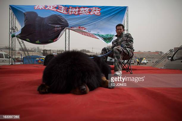 A man sits on a stage with a Tibetan mastiff dog at a show in Baoding Hebei province south of Beijing on March 9 2013 Fetching prices up to around...